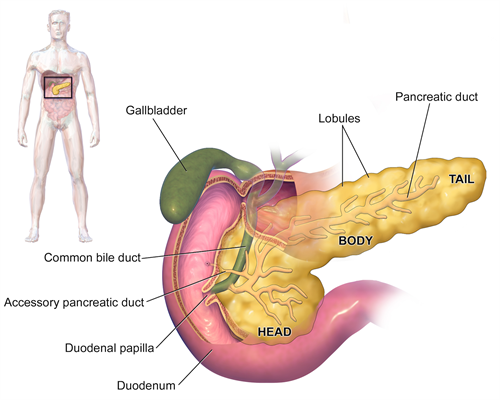 Blausen 0699 Pancreasanatomy2